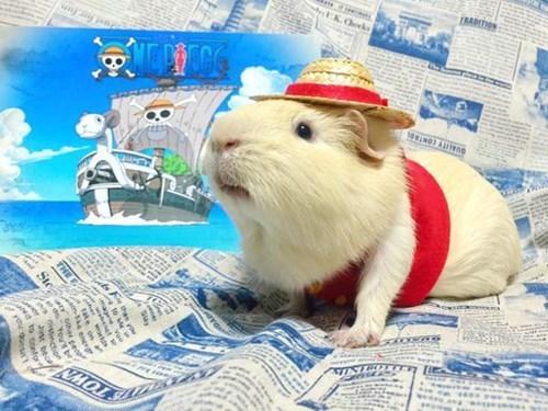 luffy guinea pig