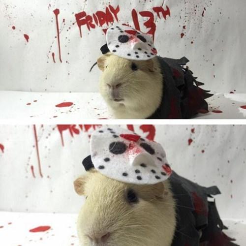 jason guinea pig