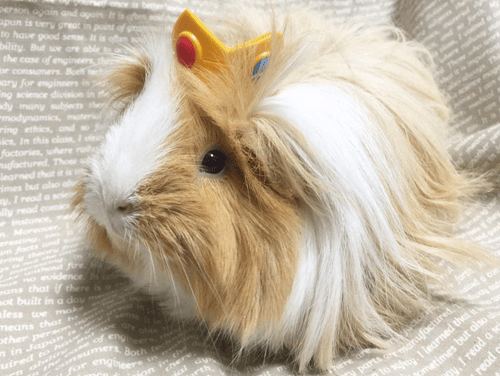 princess peach guinea pig