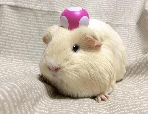 super mario toad guinea pig