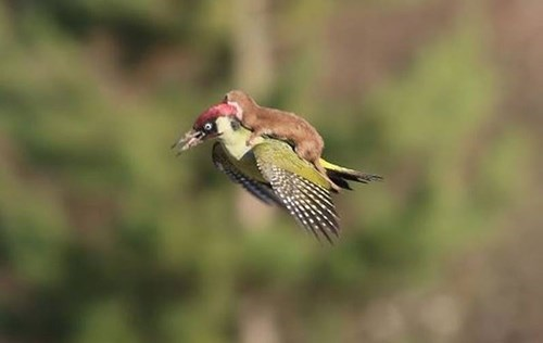 weasel,wtf,Memes,Photo,woodpecker,animals