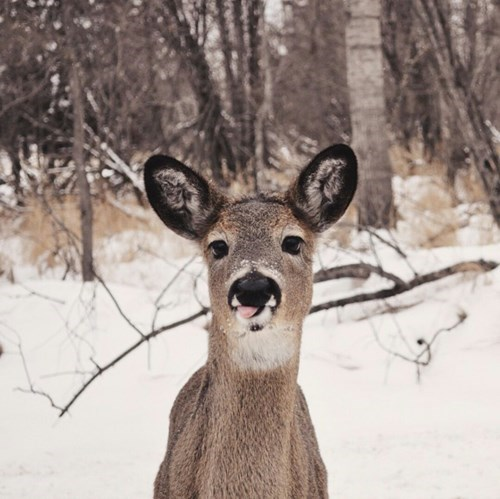 puns tongue deer derp - 8456179200