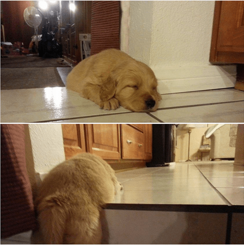 nap puppy tired steps difficult golden retriever