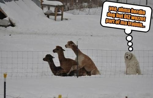 dogs wtf nope llamas - 8457402368