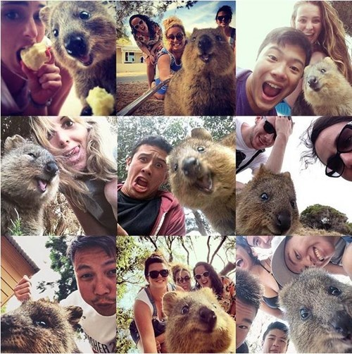ohai,quokka,collage,selfie
