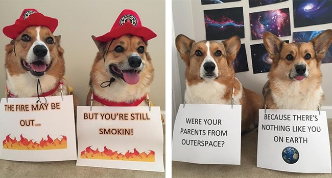 Corgi dogs wearing pick up lines that would for sure work