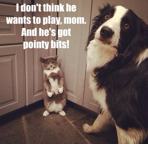 dogs australian shepherd jerk Cats