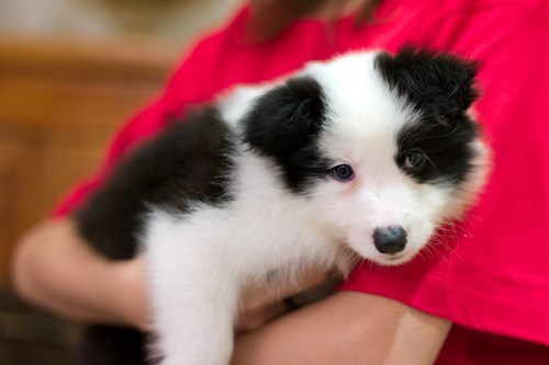 cute baby animals border collie pup