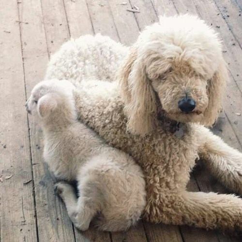 puppy confused lamb - 8460464896