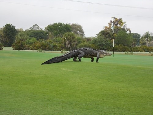 viral animal photo giant gator on golf course in florida
