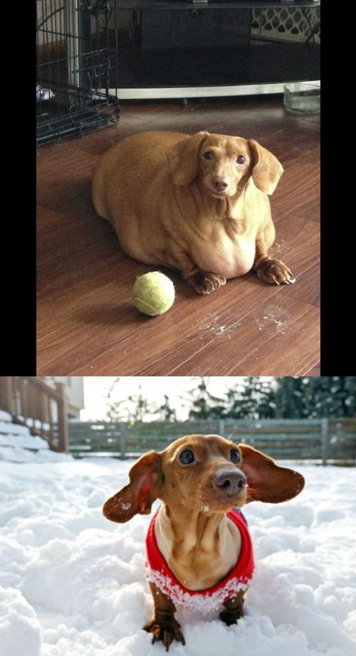 cute dog story dennis the rescued obese dachshund loses weight and is healthy