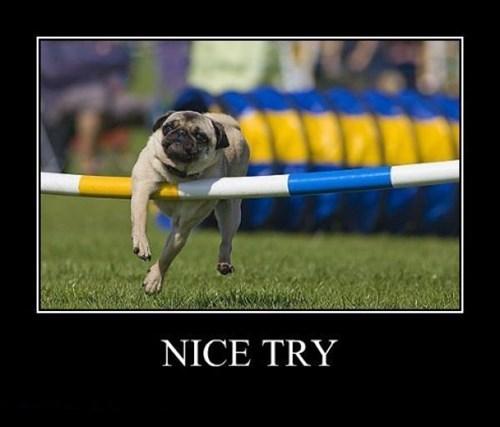 pug nice try funny - 8461408256