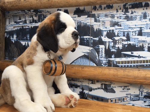small saint bernard dog