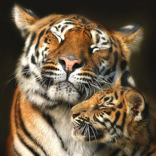 cute baby animal tiger and mother cuddle