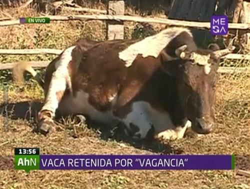 Vaca vaga