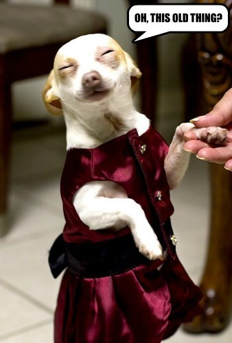 modesty,dogs,chihuahua,dress