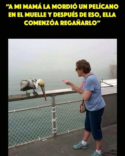 Pelicano regañado