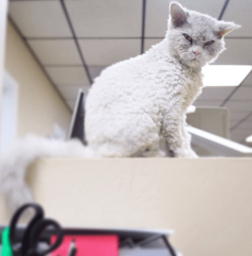 cat pompous albert caption contest angry mad selkirk rex - 8464450048