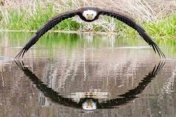 Photo of an eagle on the water