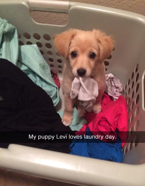 cute puppy in a laundry basket