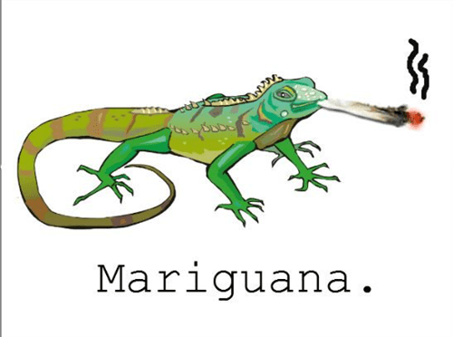 the mariguana is the highest reptile