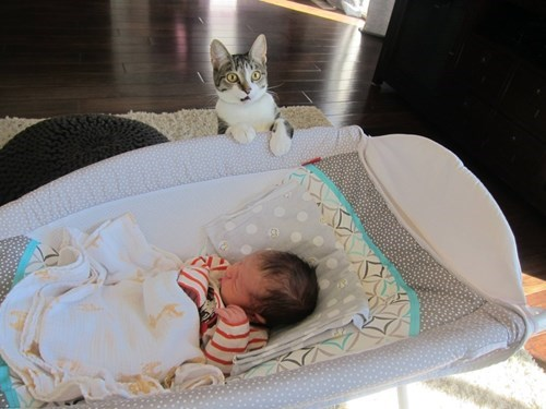 roxy-the-cat-is-skeptical-about-her-humans-baby