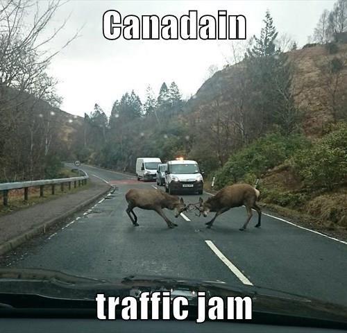 animals Canada antlers deer traffic - 8472389376
