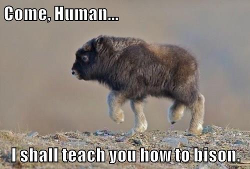Come, Human...  I shall teach you how to bison.