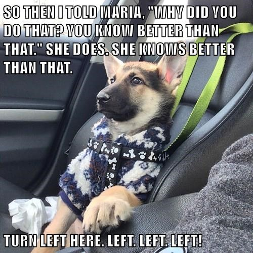 animals dogs german shepherd puppy gossip - 8474689024
