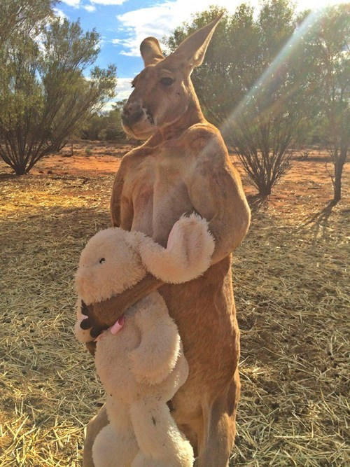 kangaroo holds teddy bar funny animal videos