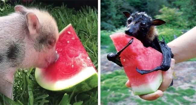 aww cute animals cute watermelon summertime eating animals - 8477701