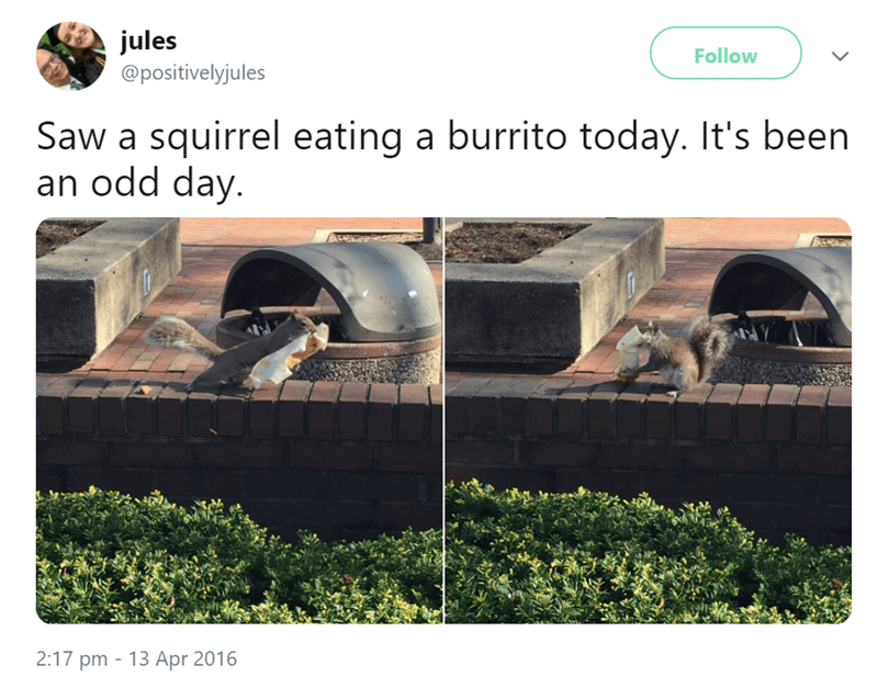 Squirrel eating a borrito