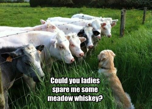 dogs whiskey milk meadow golden retriever cows - 8478248448