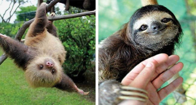 cute and adorable sloths that are very slow to move, but quick to get you to AWWWWW