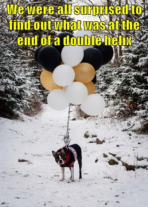 god,dogs,mind blown,boston terrier,balloon