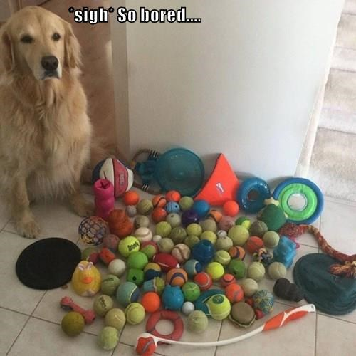 dogs,golden rretriever,toys,bored