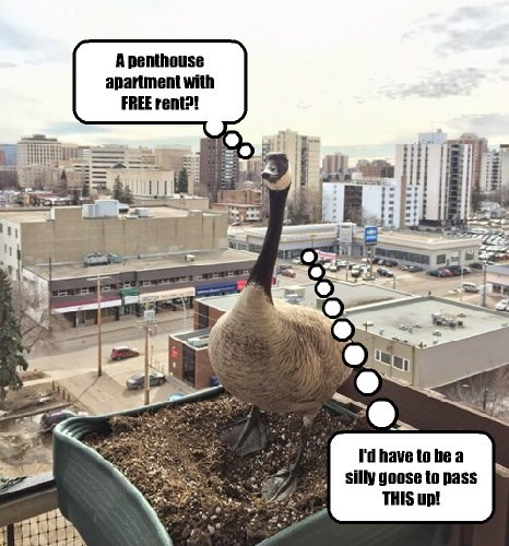 pun,goose,apartment