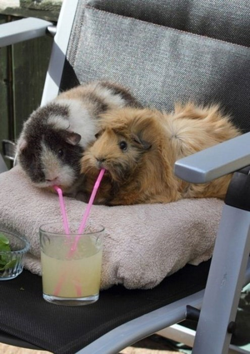 cute animals photos guinea pigs and a lemonade