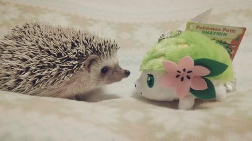 pokemon memes shaymin irl hedgehog