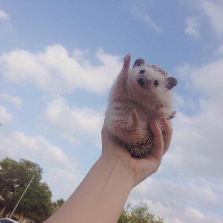 adorable photoshop battle hedgehog hedgehogs
