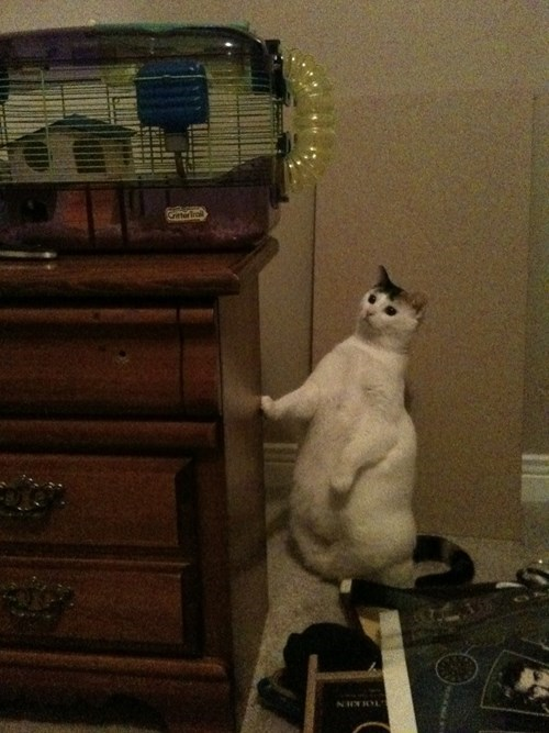 funny cat photos fat cat is not a hunter