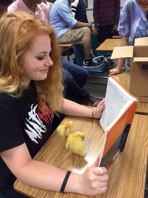 funny-win-pic-duck-studying