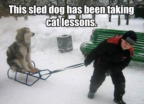 cat,dogs,sled