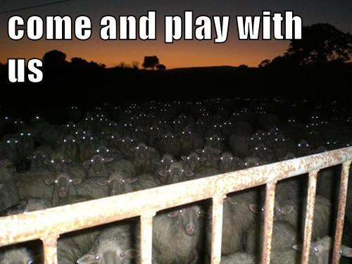 sheep,play