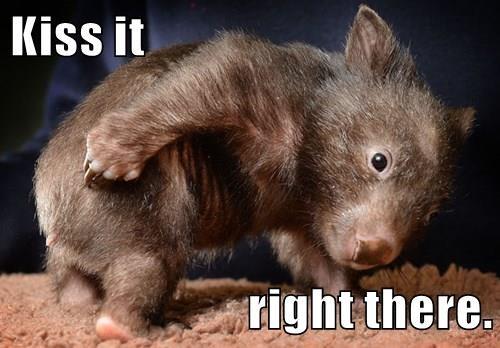 animals butt baby KISS cute Wombat - 8498116864