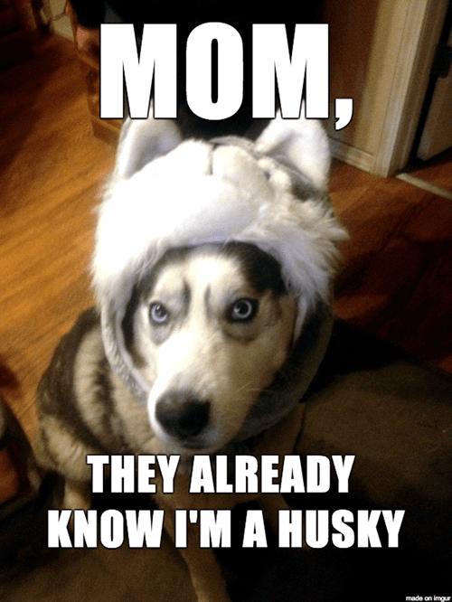 costume,dogs,husky