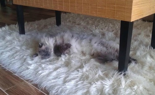 cute cats image Don't You Dare Vacuum Under This Table
