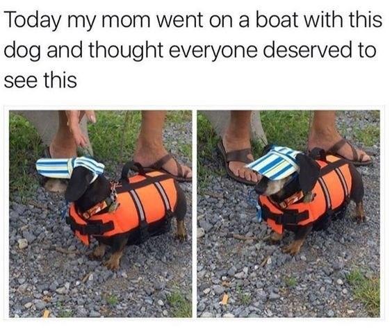 tiny dachshund dog wearing a life jacket