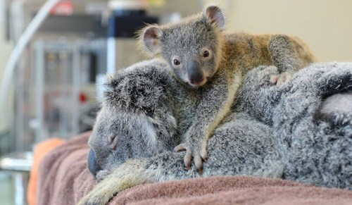 cute koala news Baby Koala Hold Onto Mom While She Gets Life Saving Surgery