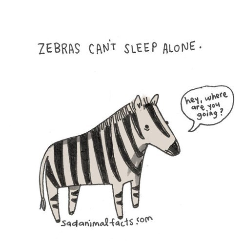 Cartoon - ZEBRAS CANT SLEEP ALONE hey, where are you going? sadanimalfacts som